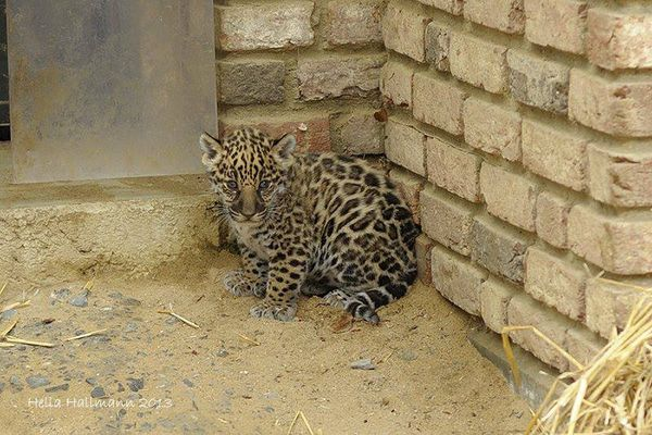 Feisty Baby Jaguar Visits the Vet at Krefeld Zoo