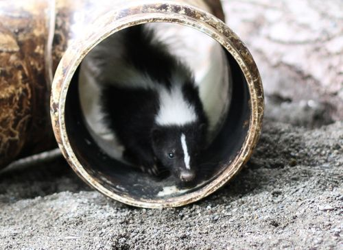 6 skunk