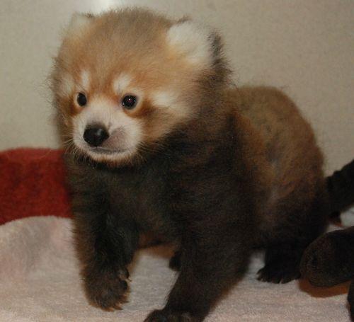 Red Panda 07312013 (13)
