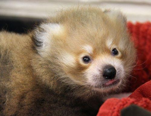 4 red panda