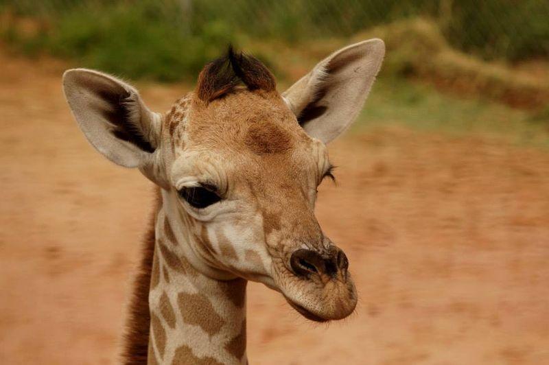 3 giraffe