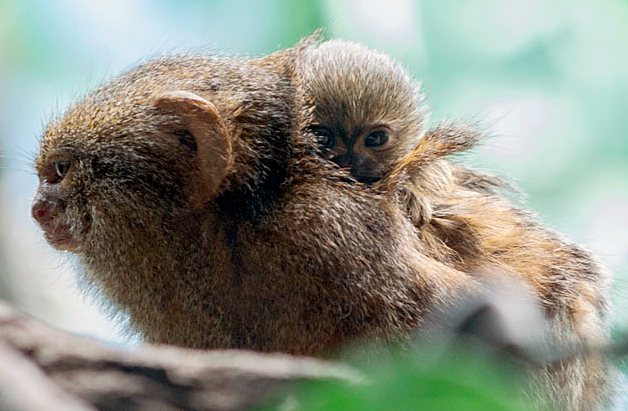 Houston Zoo Pygmy Marmoset Baby-8419
