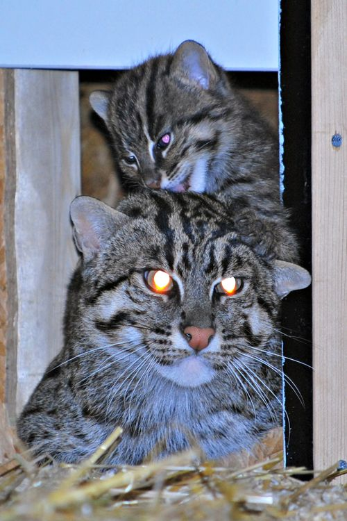 3 fishercat