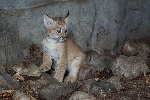 1 lynx