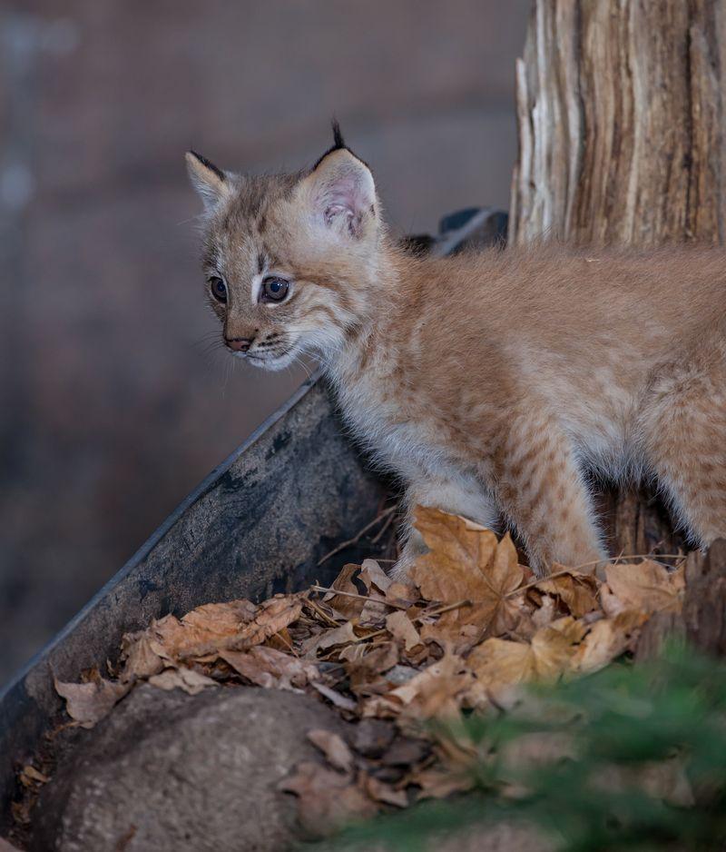 5 lynx
