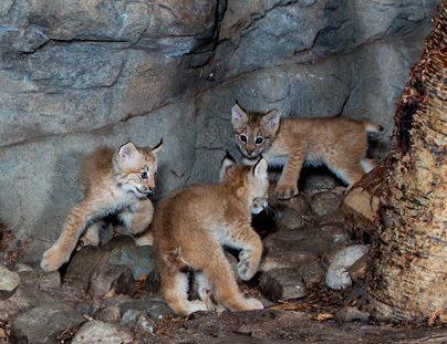 7 lynx