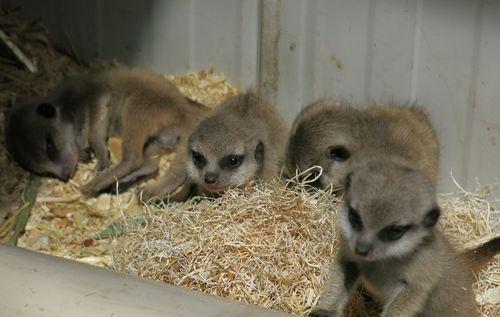 4 meerkat