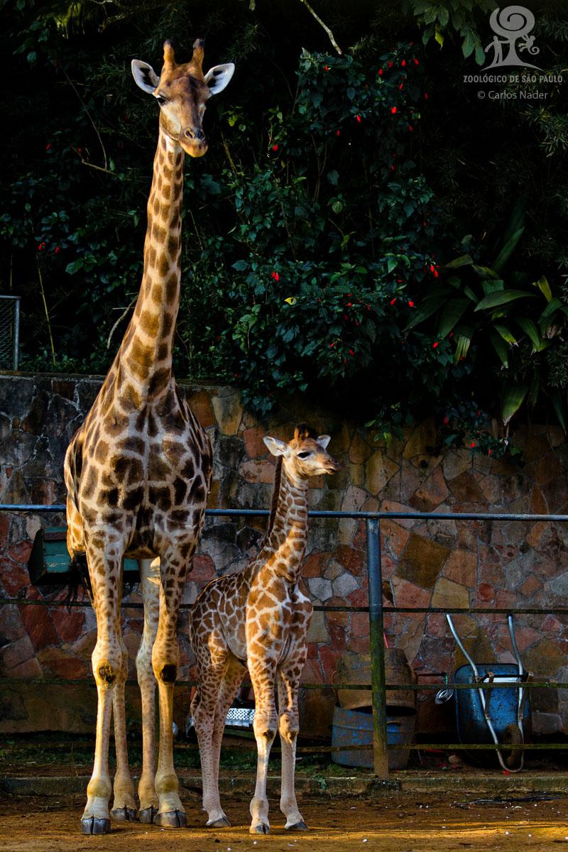 4 giraffe nader