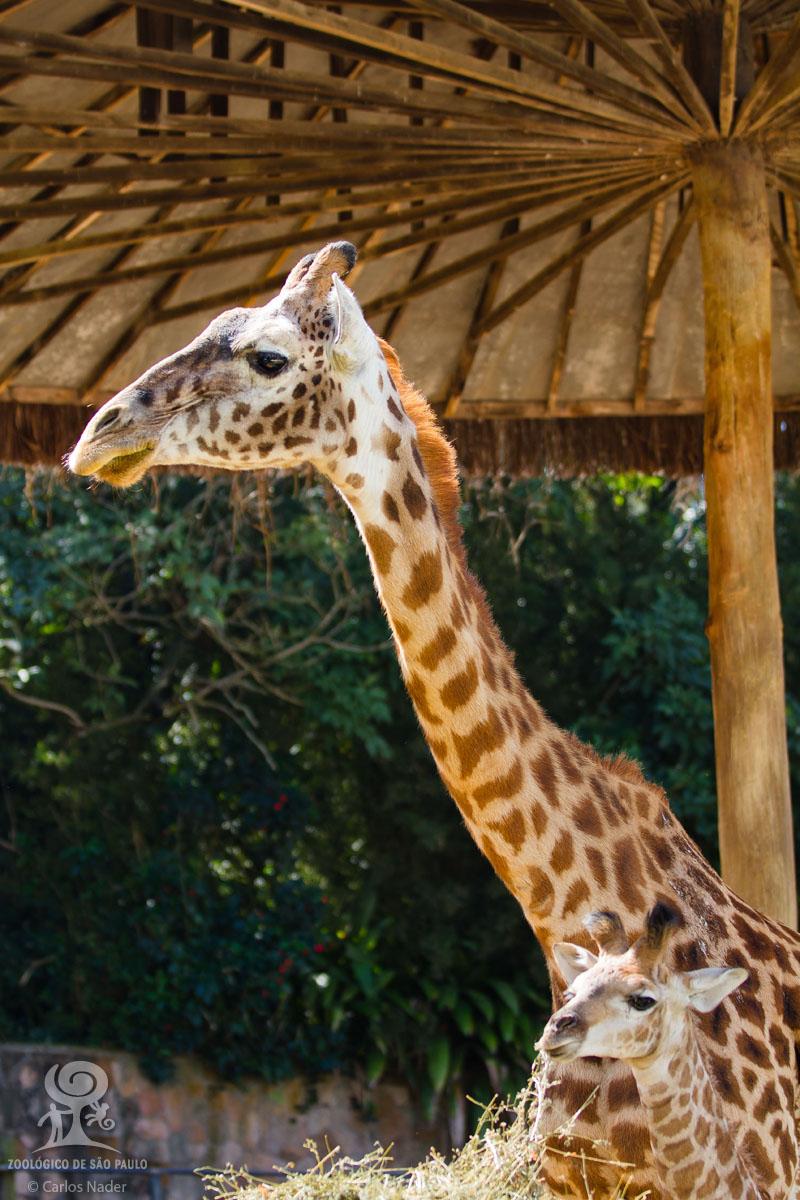 6 giraffe nader