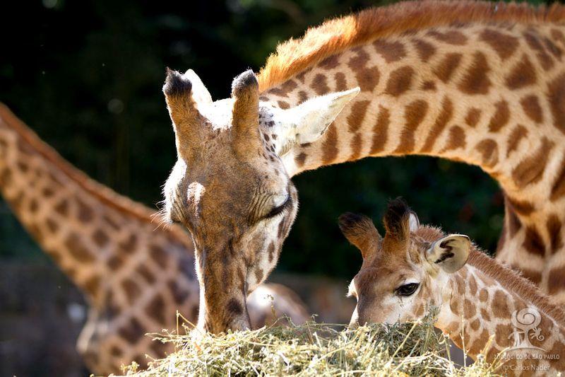8 giraffe nader