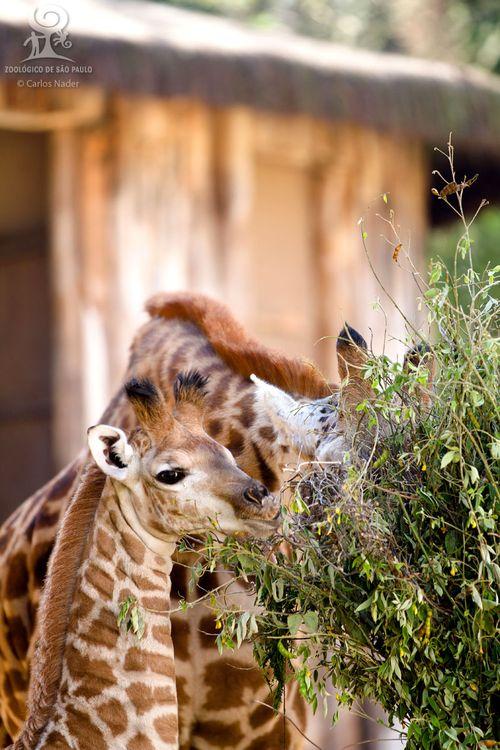 9 giraffe nader