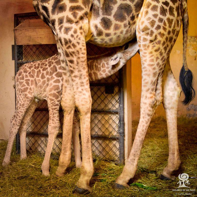 10 giraffe nader