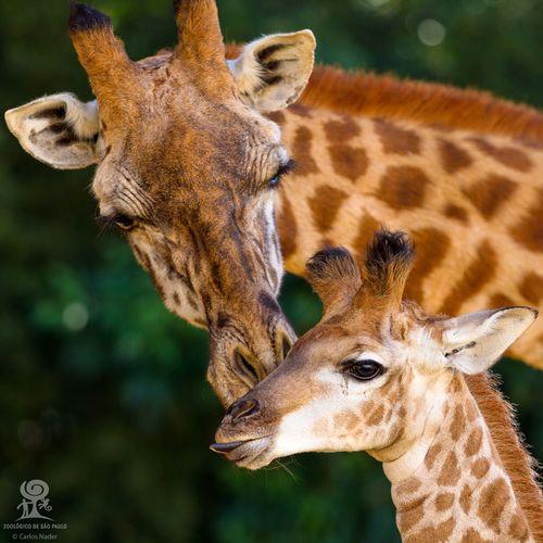 1 giraffe nader