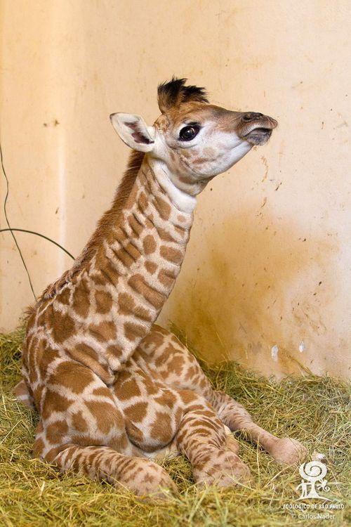 2 giraffe nader