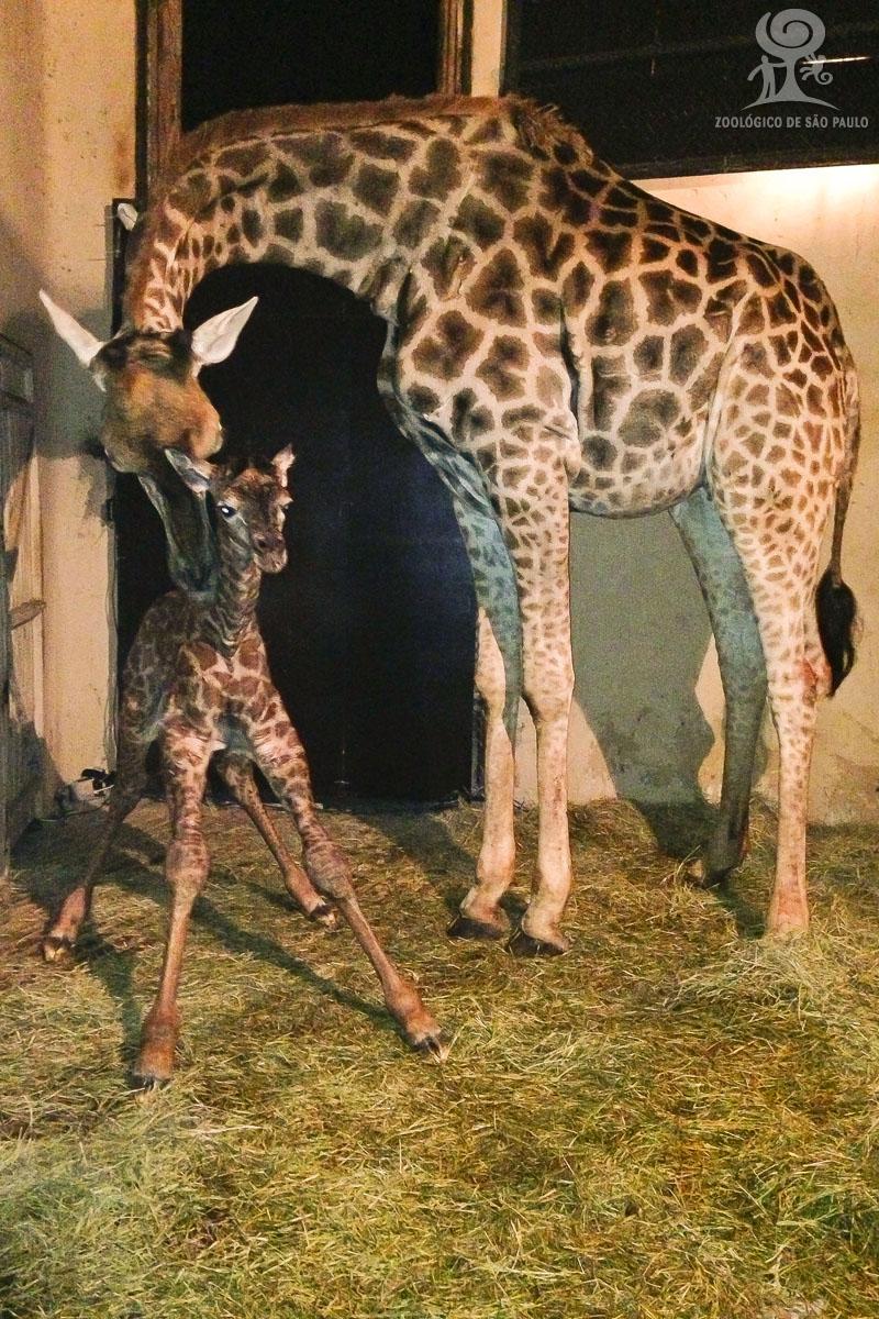 3 giraffe Tolentino