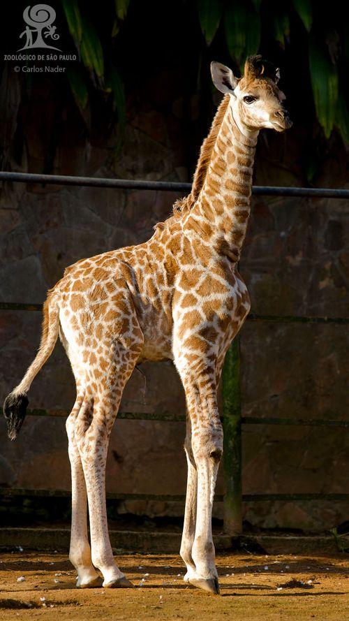 5 giraffe nader