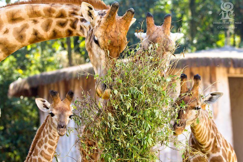 7 giraffe nader