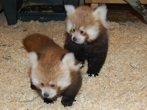 Knoxville Zoo red panda cubs 111