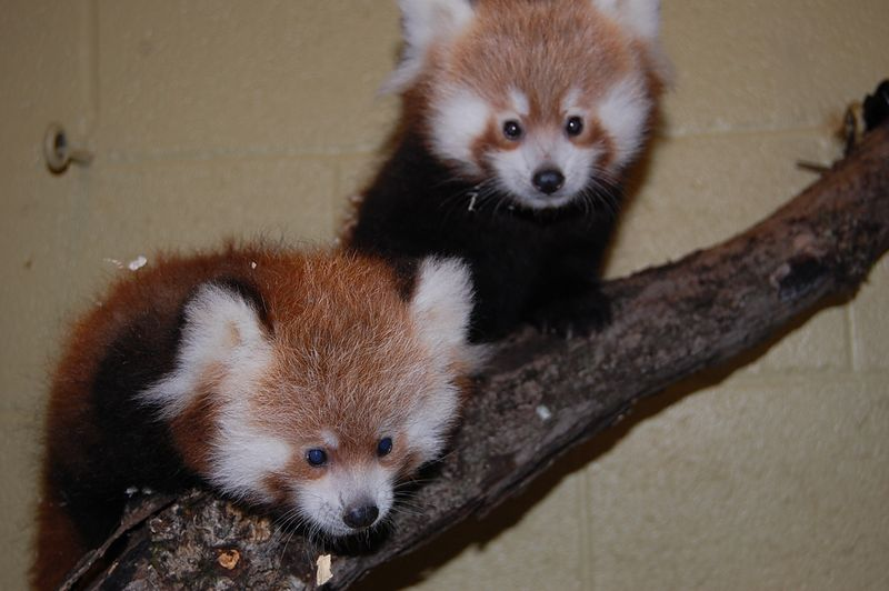 Red panda  cubs 115
