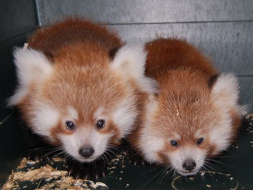 Knoxville Zoo red panda cubs 114
