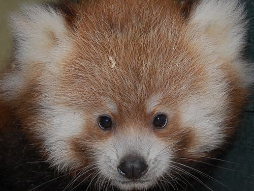 Knoxville Zoo red panda cubs 112