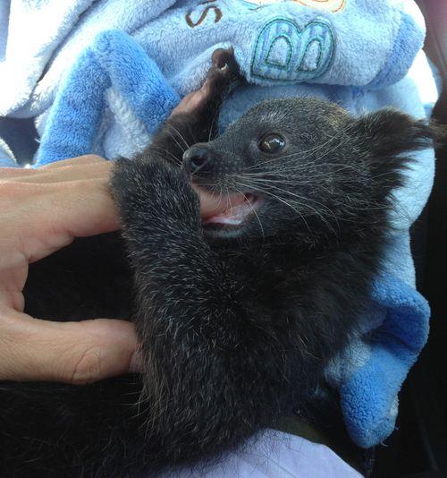 Baby Binturong Staten Island Zoo 2.jpg