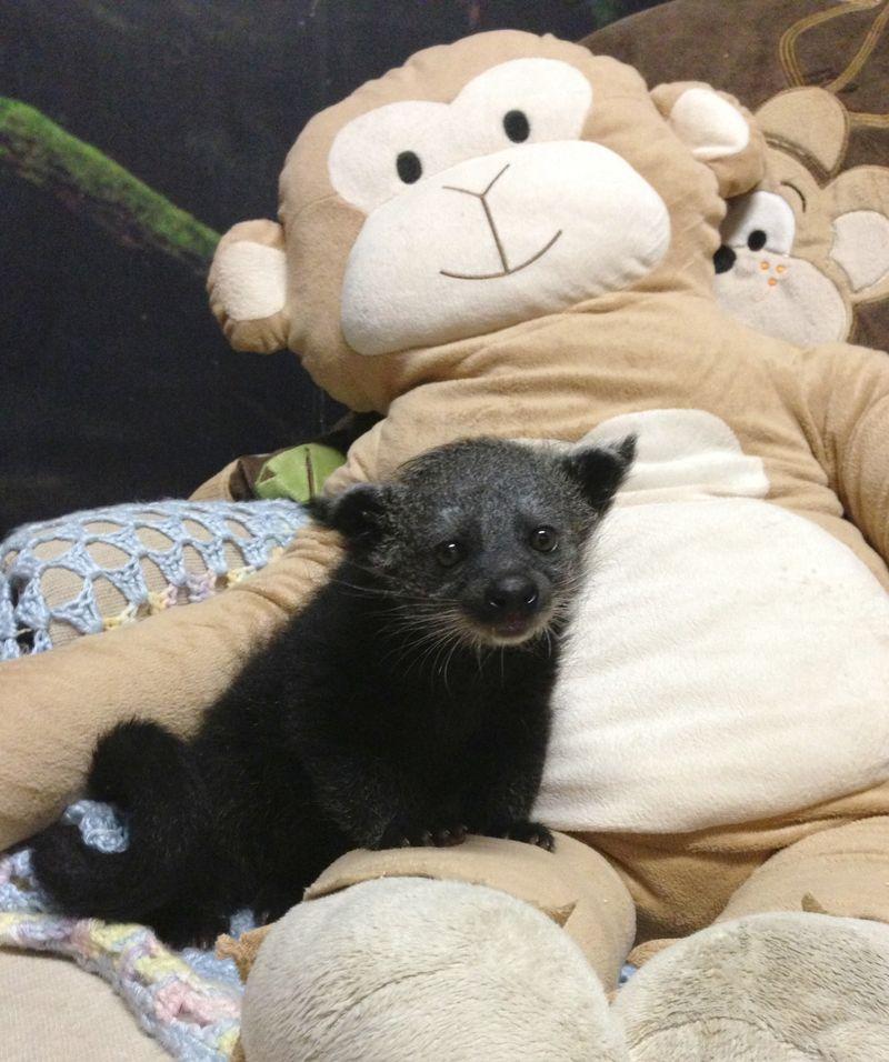 Baby Binturong Staten Island Zoo 3.jpg
