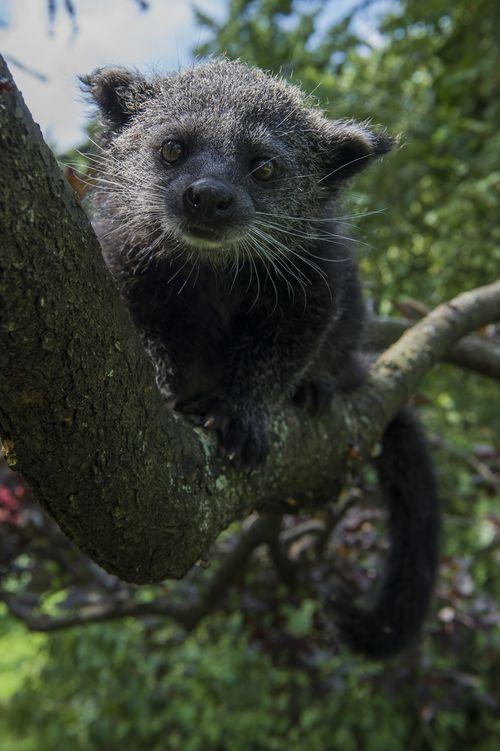 Baby Binturong Staten Island Zoo 4