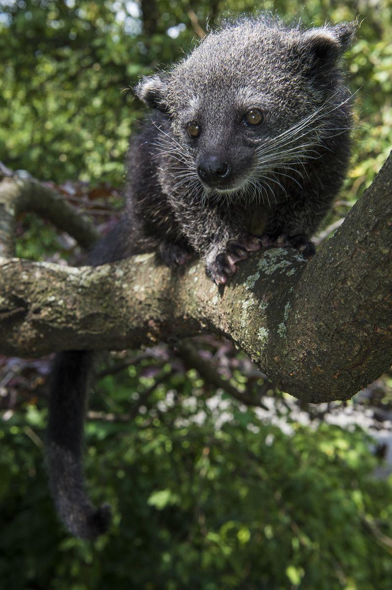 Baby Binturong Staten Island Zoo 5