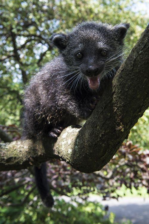 Baby Binturong Staten Island Zoo 6