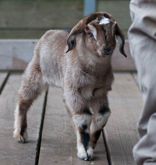 4 goat