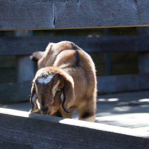 5 goat