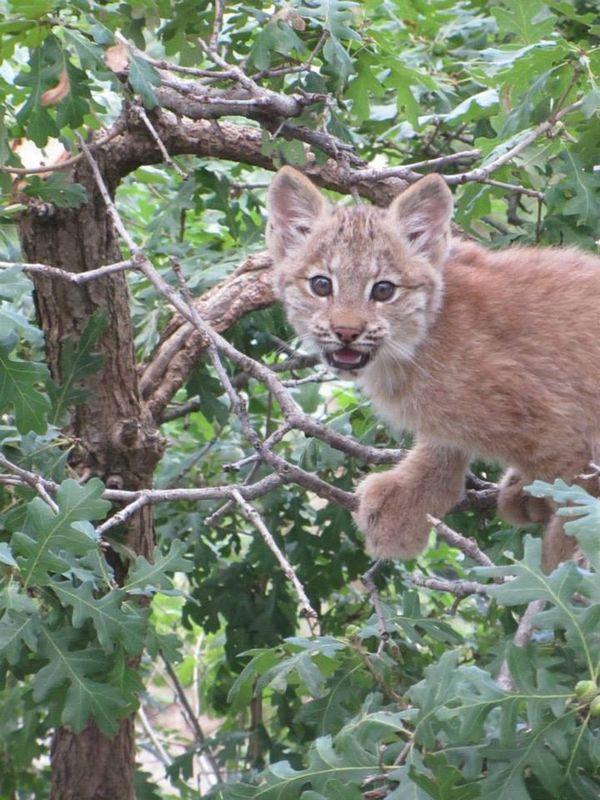 Curious Lynx Kittens Show Their Climbing Cred at Cheyenne Mountain Zoo