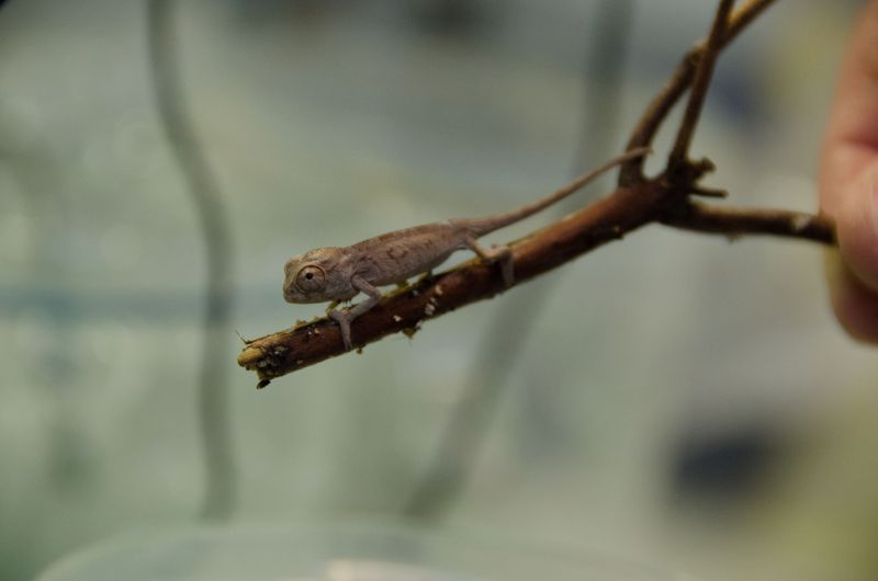 ©South Carolina Aquarium Panther Chameleon Babies (32 of 50)Ronald