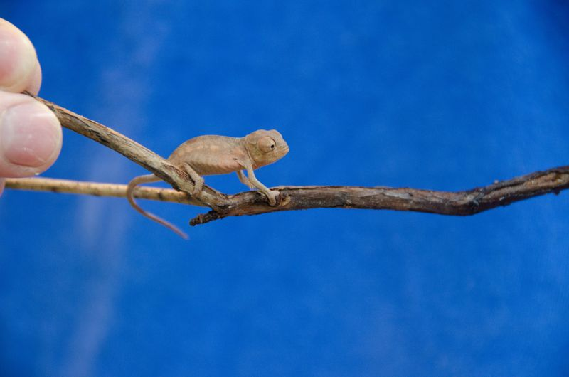 ©South Carolina Aquarium Panther Chameleon Babies (2 of 50) Raul
