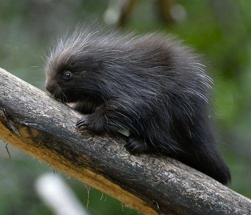 3 porcupine