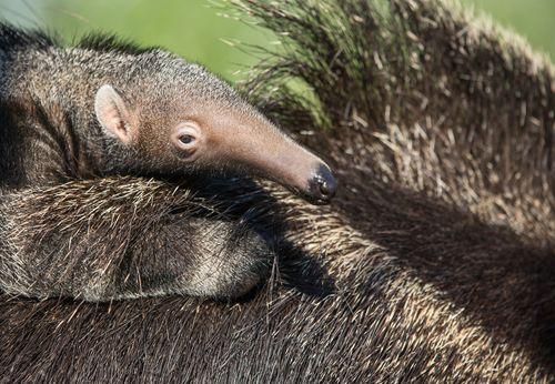 Anteater Pup - Amiee Stubbs