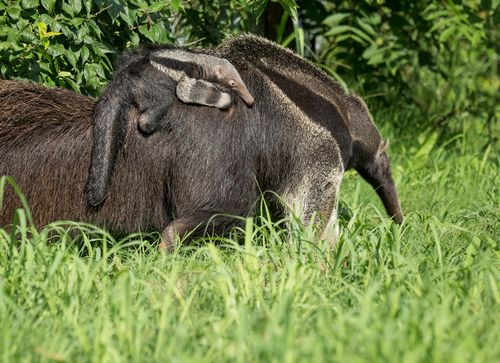 Anteater Pup w Mother - Amiee Stubbs