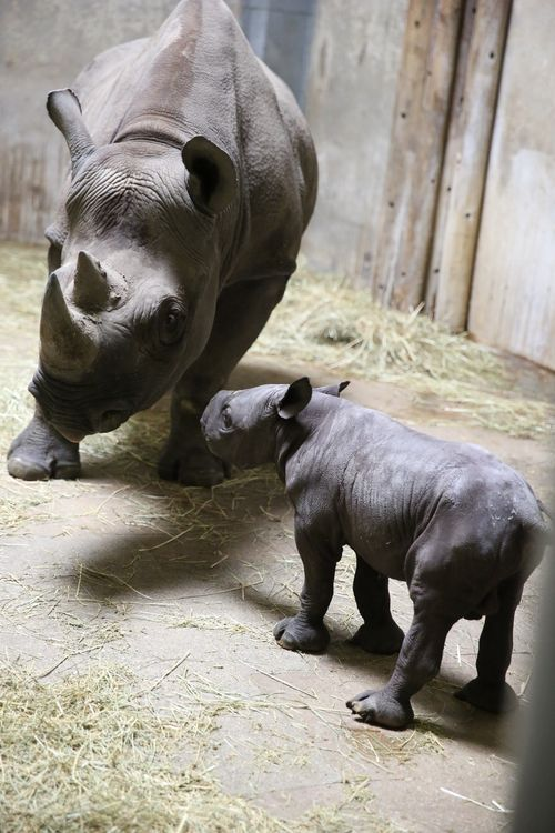 6 rhino