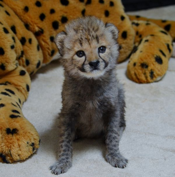 Cheetah Cubs Bond with Black Lab Puppy at Dallas Zoo