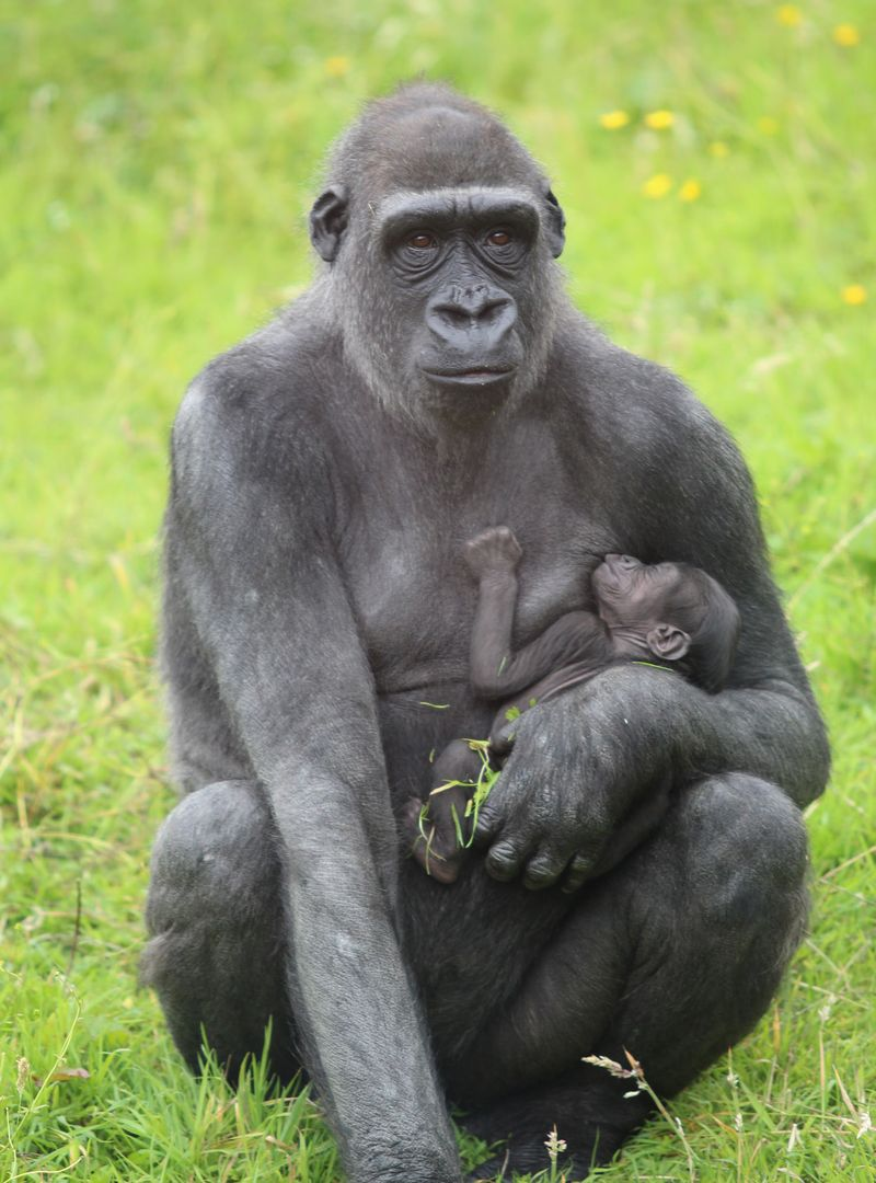 (2)  The baby gorilla has been named 'Baako' which means 'first born child'.