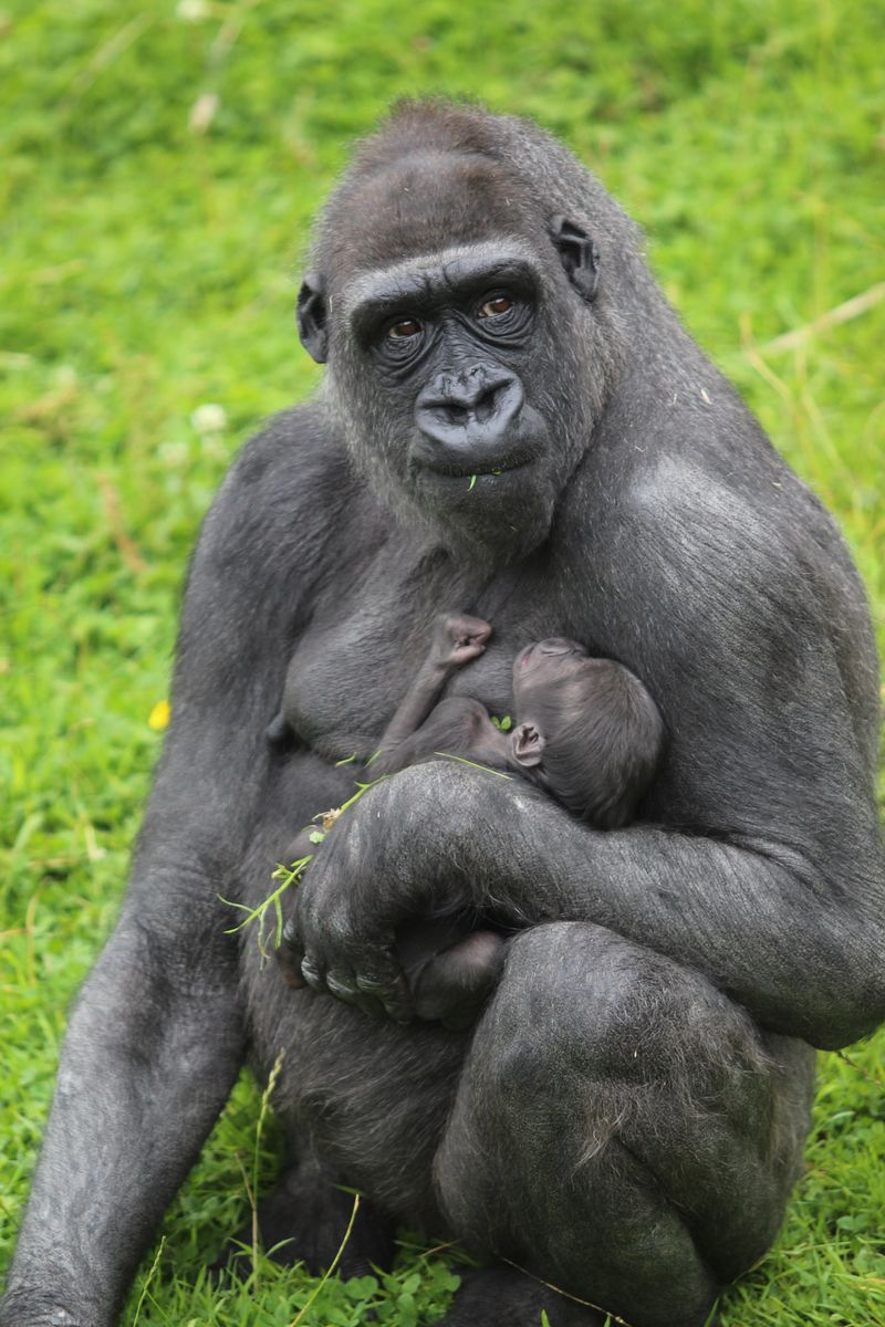 (1)  On 3 August 2013, Belfast Zoo welcomed the first gorilla to be born at the zoo in 16 years!