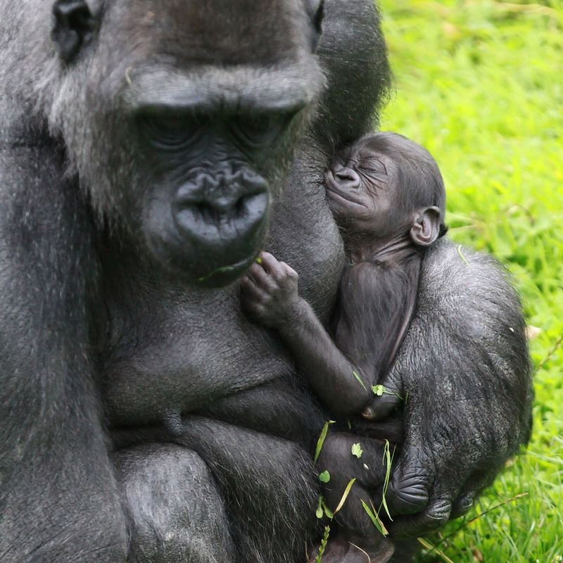 (3)  The latest arrival is a male and was born to mother, Kwanza, and father, Gugas, on 3 August 2013.