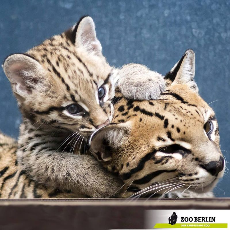 the adventures begin for zoo berlin 39 s ocelot kitten zooborns. Black Bedroom Furniture Sets. Home Design Ideas