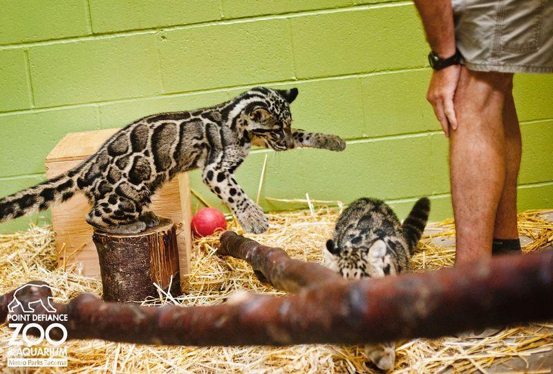 4.2 leopard