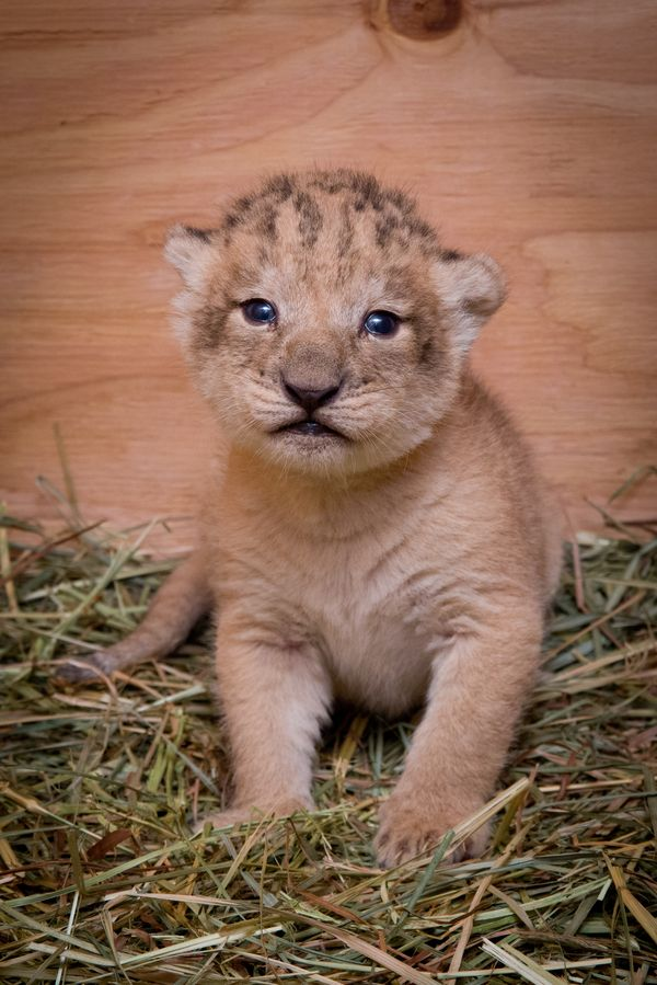 Oregon Zoo: Oregon Zoo's Lion Pride Grows