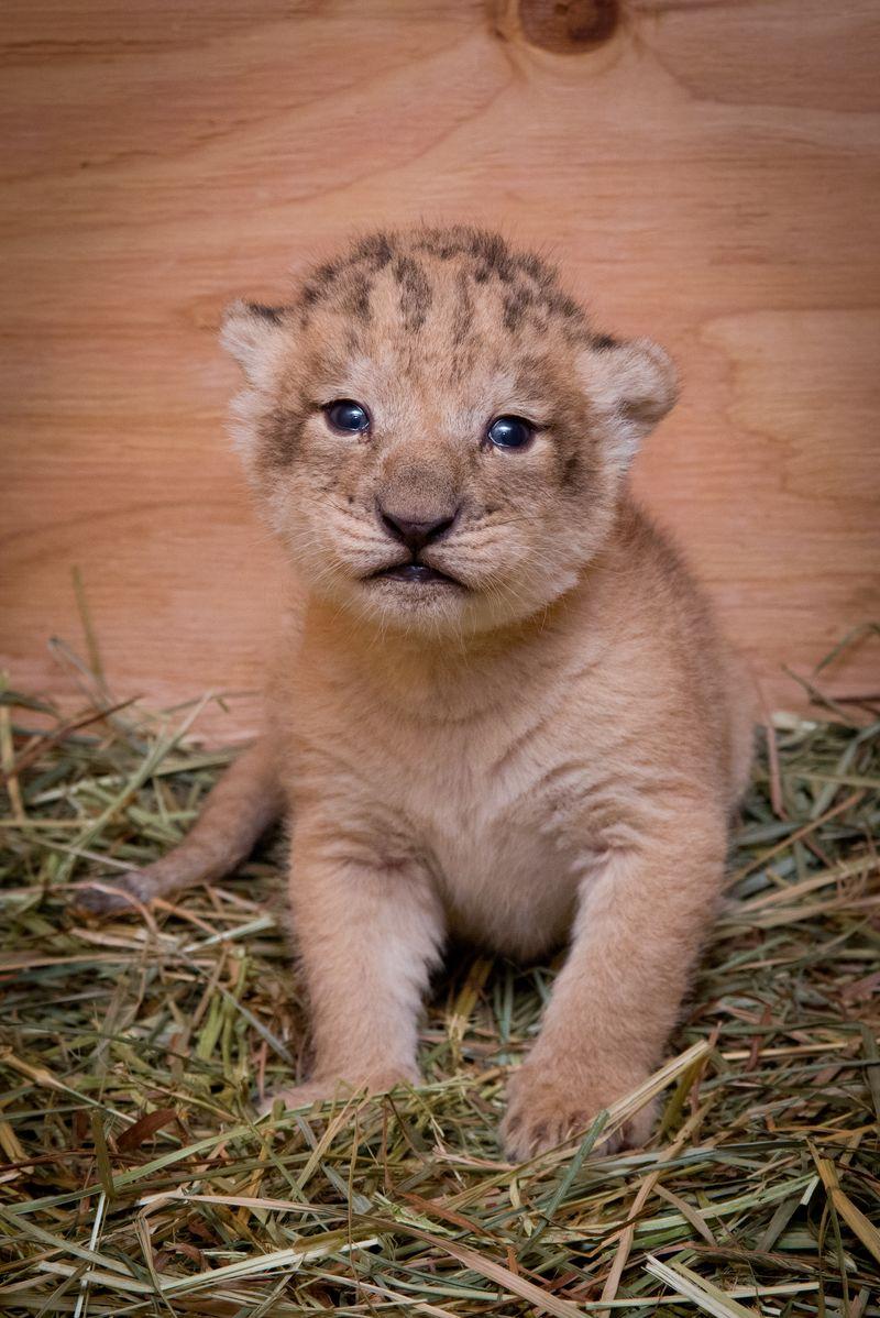 1 lion