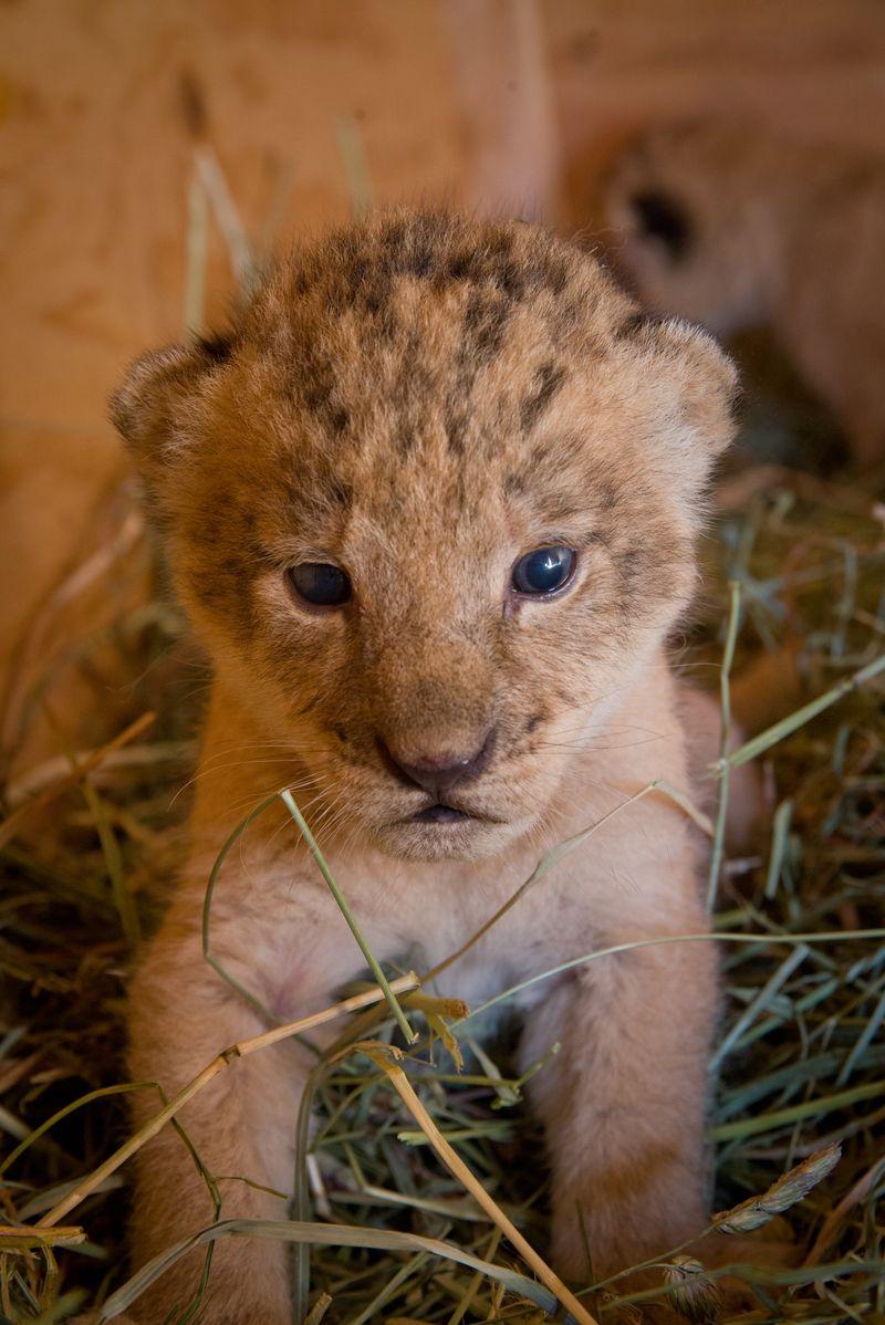 10 lion