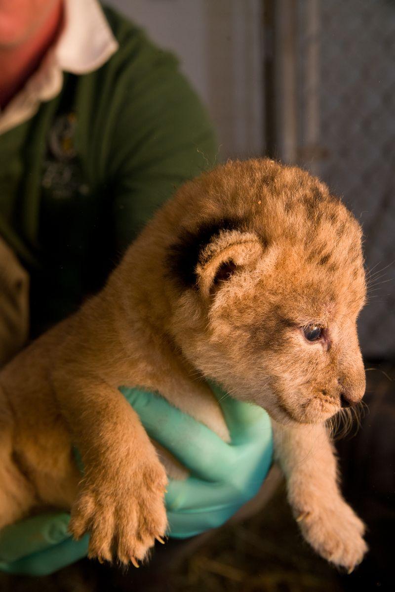 8 lion