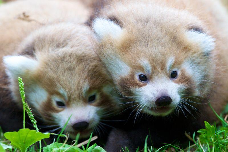 3 red panda